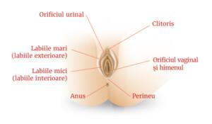 Female_genitals_3-ROM-01
